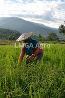 insektisida belt, pestisida, hama penggerek barang, padi, jual pestisida, toko pertanian, toko online, lmga agro