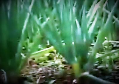 analisa budidaya bawang daun
