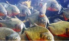 gerobolan ikan piranha