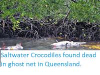 Saltwater Crocodiles found dead in ghost net in Queensland.
