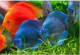 Ikan Hias Air Tawar Termahal sekawanan discus