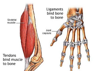 Tendon vs Ligament