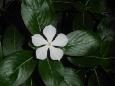 White Madagascar Periwinkle