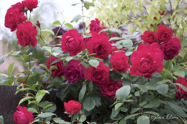 Blaze Roses- Early Summer Roses- www.gildedbloom.com
