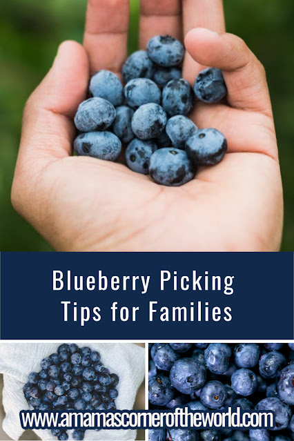 Pinnable image for a post about Blueberry Picking Tips for Families