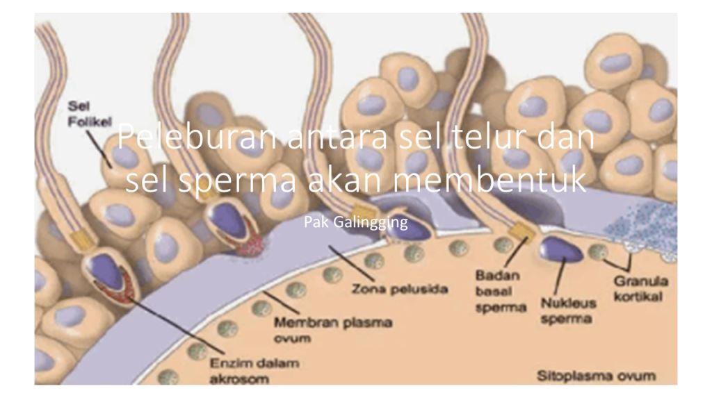Peleburan antara sel telur dan sel sperma akan membentuk Zygot, Begini Prosesnya!