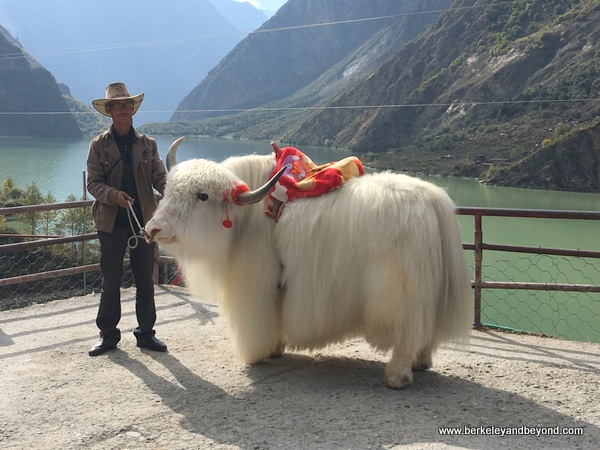 white yak at Barrel Lake on the way to Jiuzhaigou Valley in Sichuan Province of China