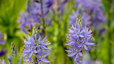 Camassia en el jardín: cultivo y variedades
