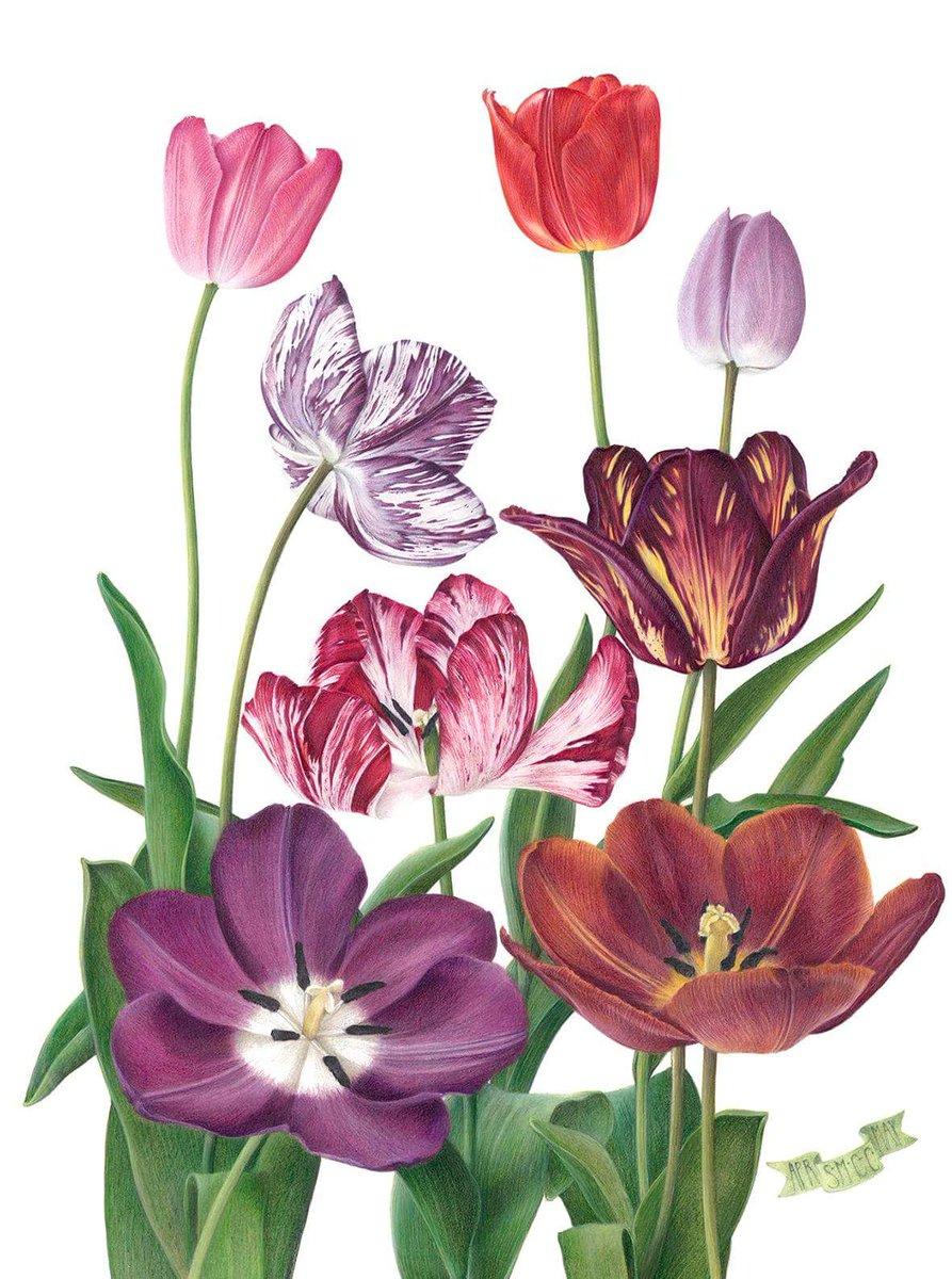 ilustración flores tulipanes exposicion Tulipa Tulipae