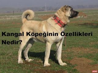 Kangal Köpeğinin Özellikleri Nedir?