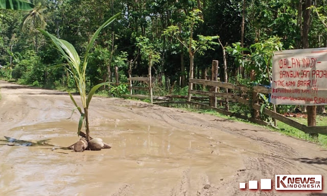 Protes Pemerintah, Aliansi Pemuda Benteng Tanam Pohon Pisang Di Tengah Jalan