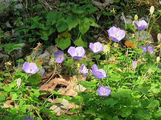 Dzwonek karpacki (Campanula carpatica Jacq.).