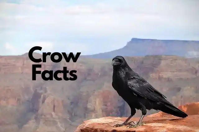 80 Uncanny Facts About Crow in Hindi