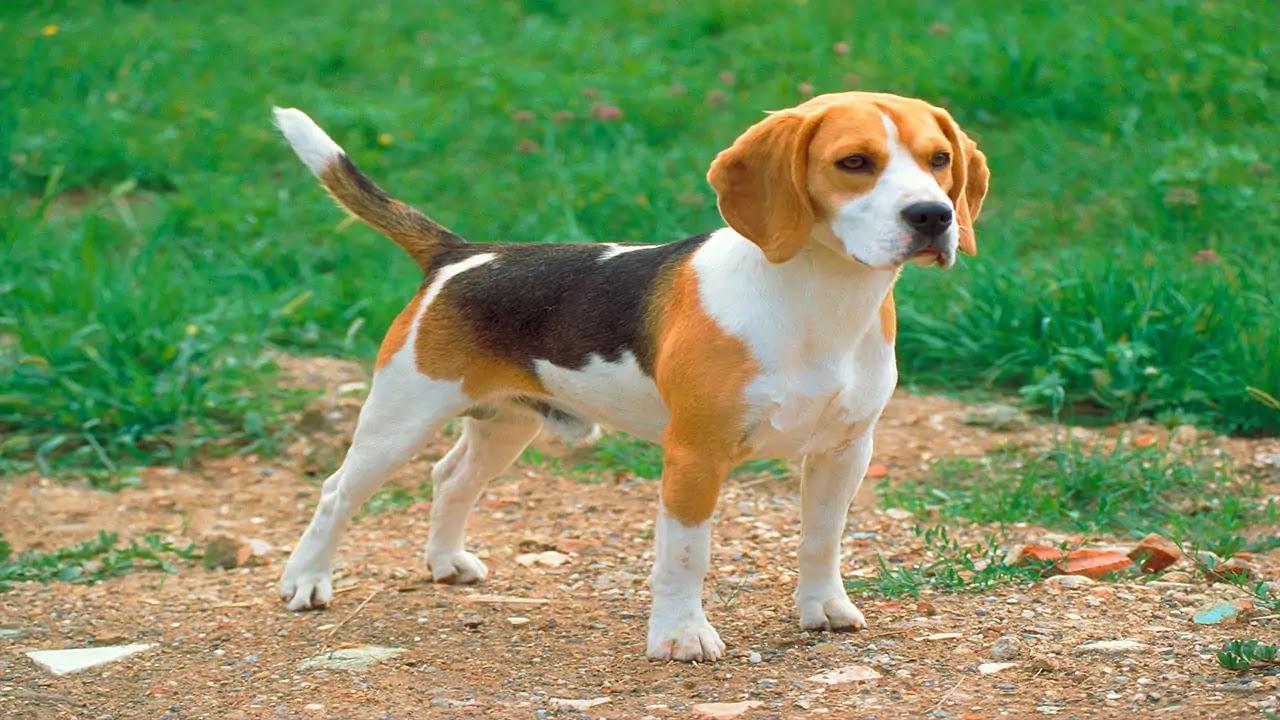 Beagle Chiot