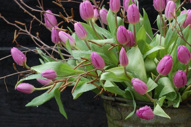 spring garden, tulips in the rain