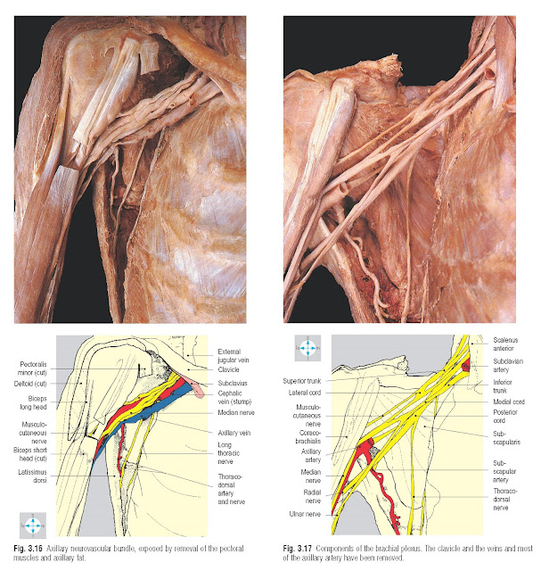 Components of the brachial plexus. The clavicle and the veins and most of the axillary artery have been removed.