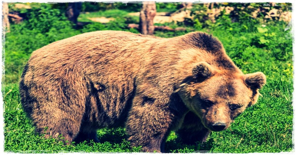 Ciri-ciri binatang beruang