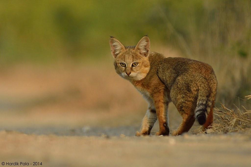 Gato da Floresta (Felis chaus)