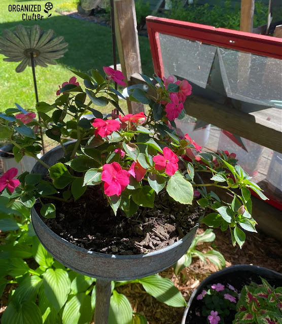 Photo of impatiens planted in a funnel.