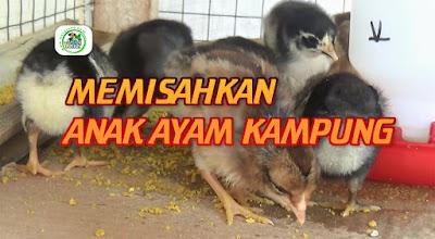 Tahapan Memisahkan dan Perawatan Anak Ayam Kampung dari Induknya  Dari Umur 1-10 Hari