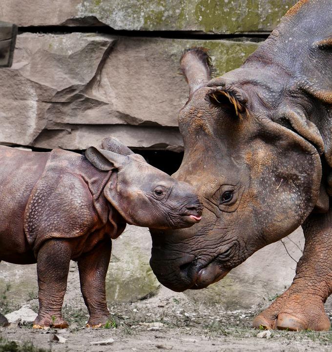 Bébé Rhinocéros d'Afrique