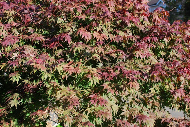Acer leaves red and pink
