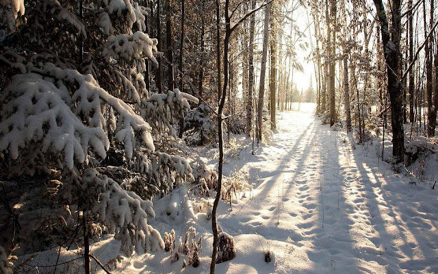Bos met veel bomen en sneeuw op de grond