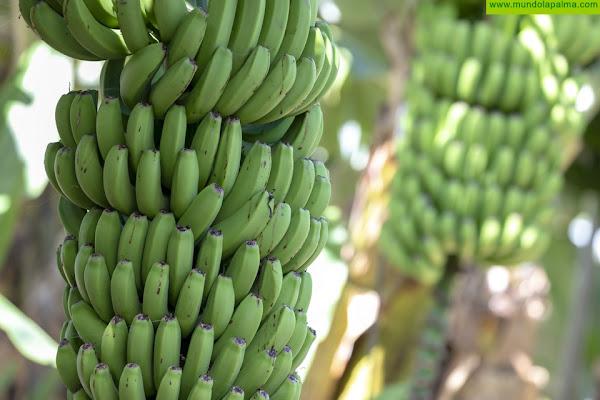 El Gobierno canario abre mañana el plazo para solicitar la ayuda a los productores de plátano con IGP