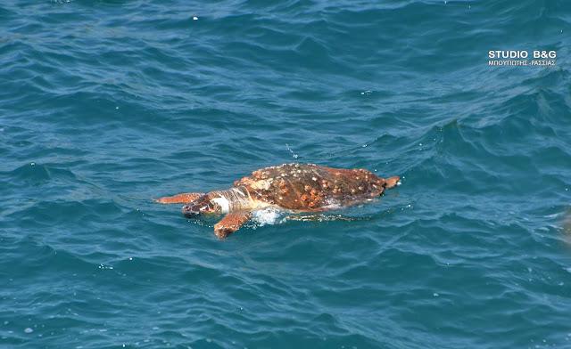 Θαλάσσια χελώνα εντοπίσθηκε νεκρή στην παραλία Καραθώνας στο Ναύπλιο (βίντεο)