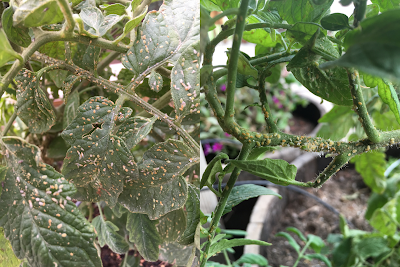 A composite photo of tomato plants infested with small insects called psyllids