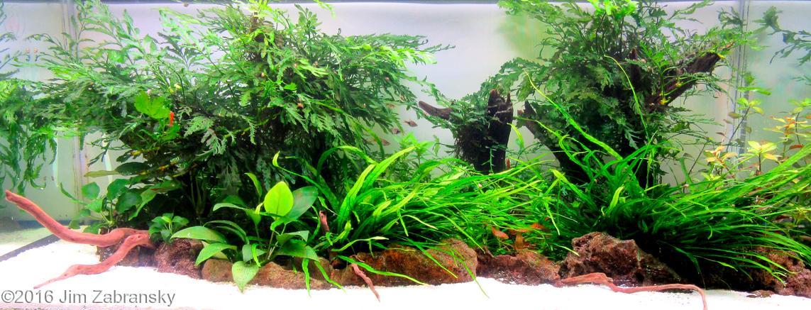 Hồ thủy sinh có cây dương xỉ châu phi tại cuộc thi AGA 2016