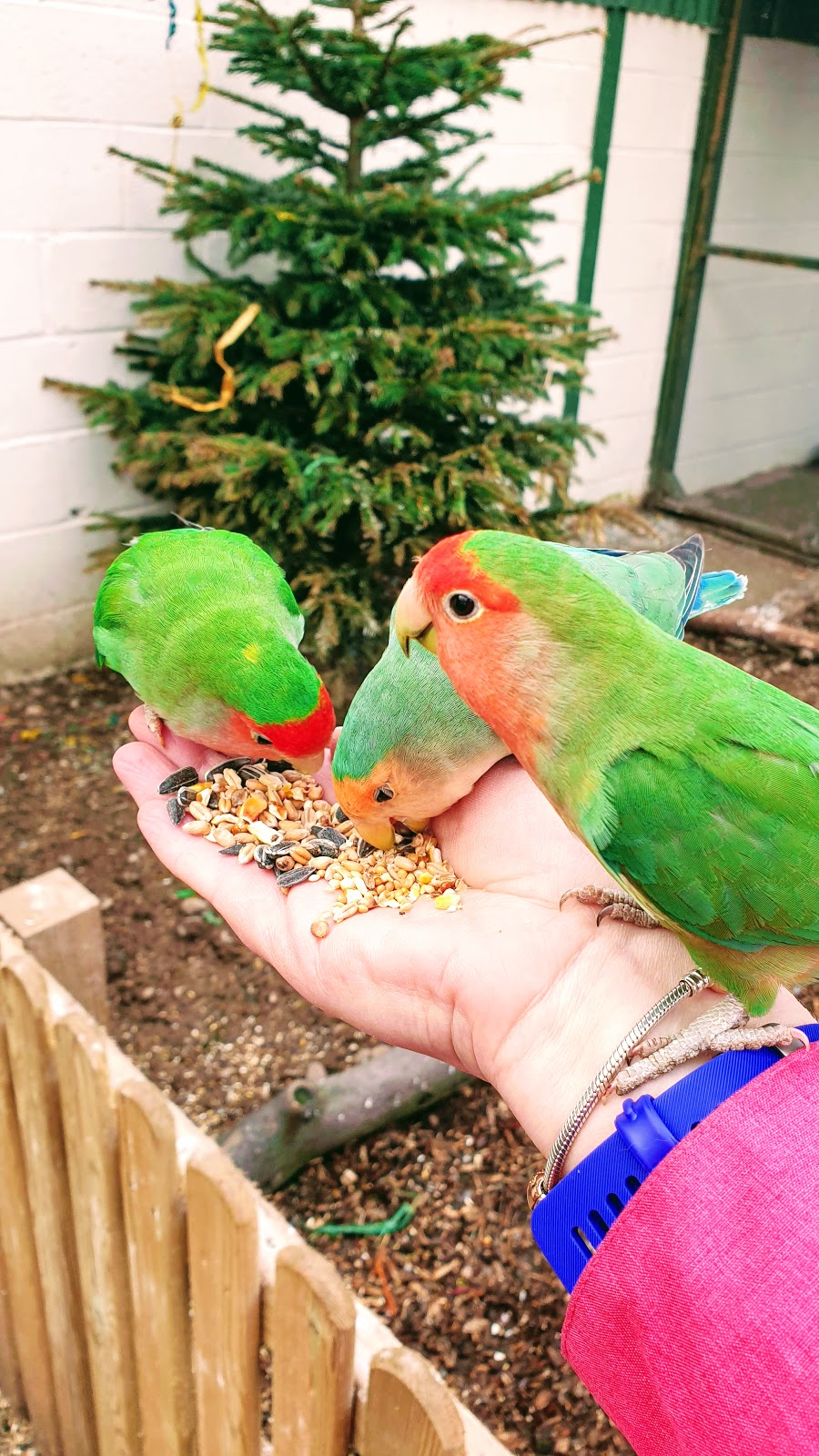 Lovebird At White Post Farm