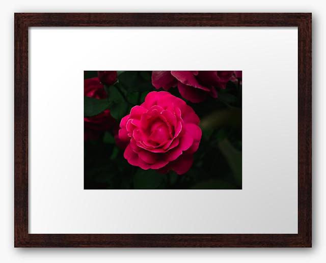 Beautiful Grande Dame hybrid rose