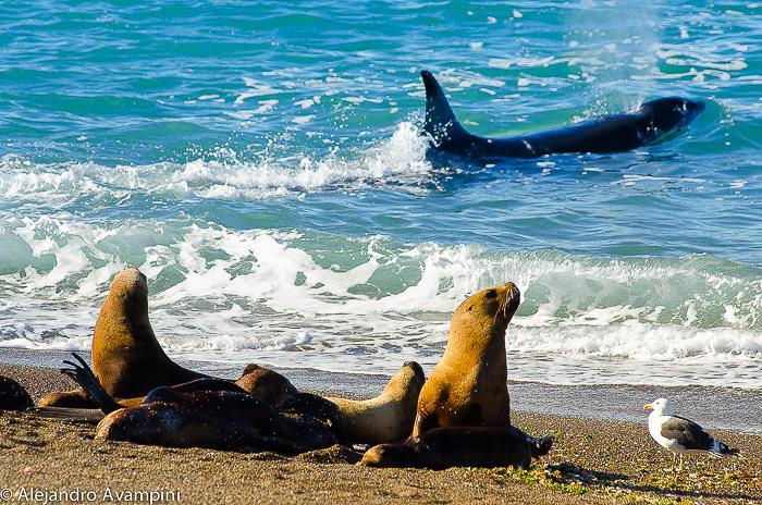 orcas peninsula valdes argentine patagonia