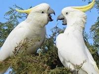 Yuk Simak, Mengulas Lebih Dalam Seputar Ciri-Ciri Burung Kakak tua Koki