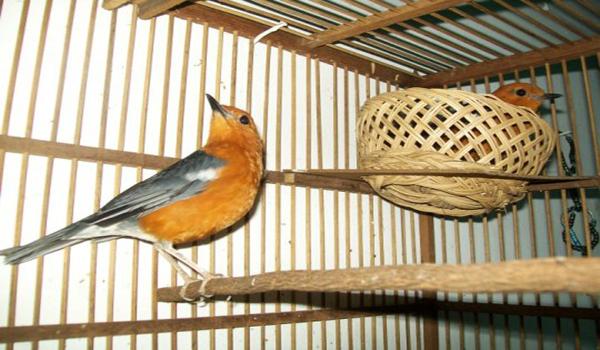 gambar burung anis merah