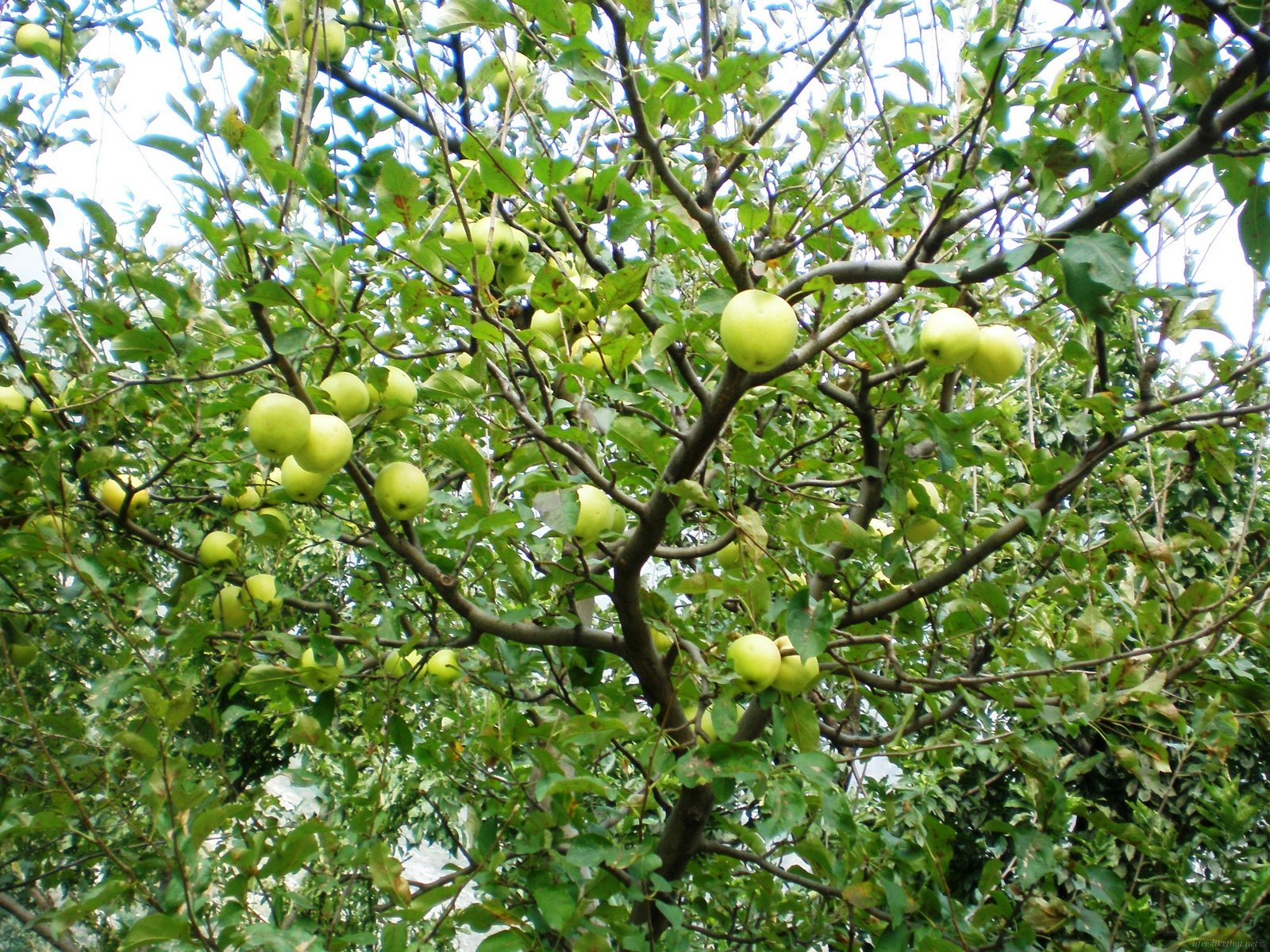 Canada Floral Delivery Blog: The History of The Apple Tree