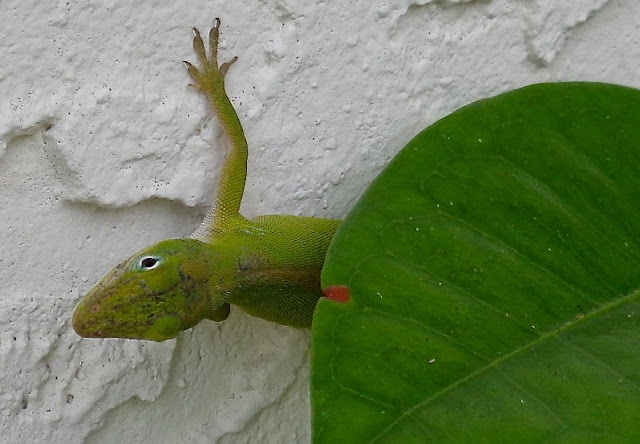 Florida Native Green Anole
