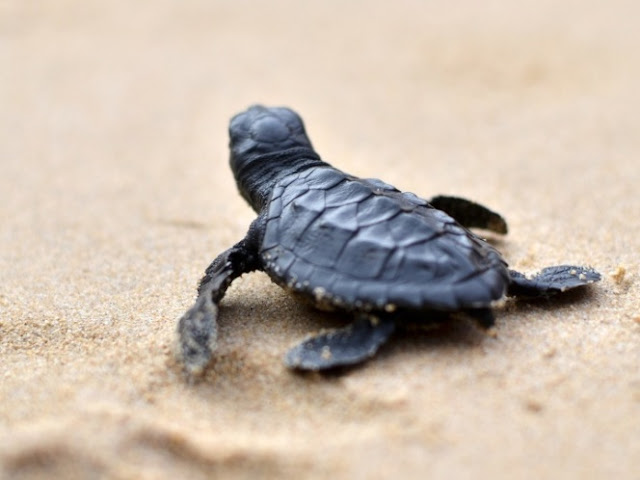 Tortugas adelantan anidación en Cozumel gracias a la cuarentena