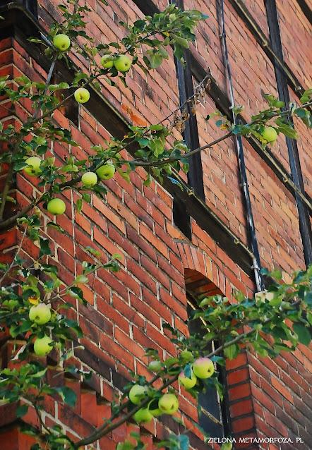 stara formowana jabłoń