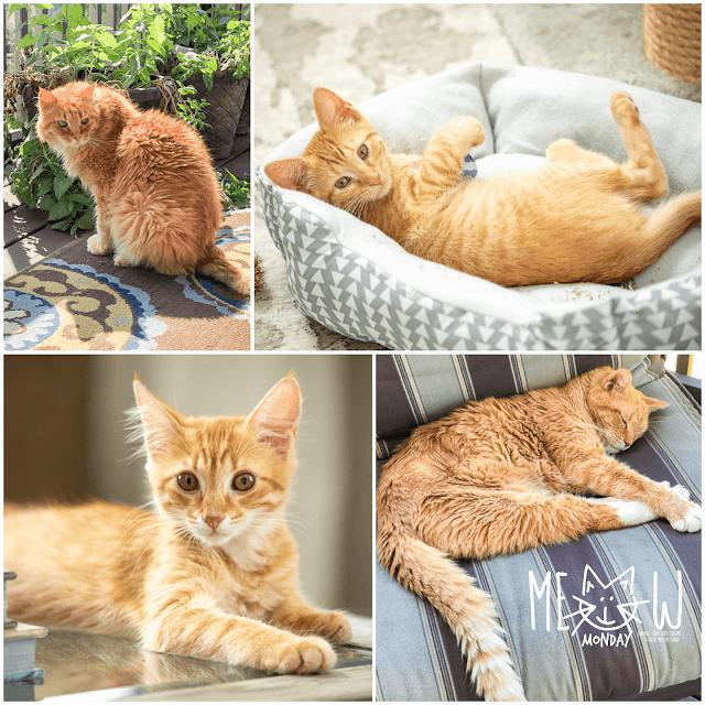 collage of 4 cat photos
