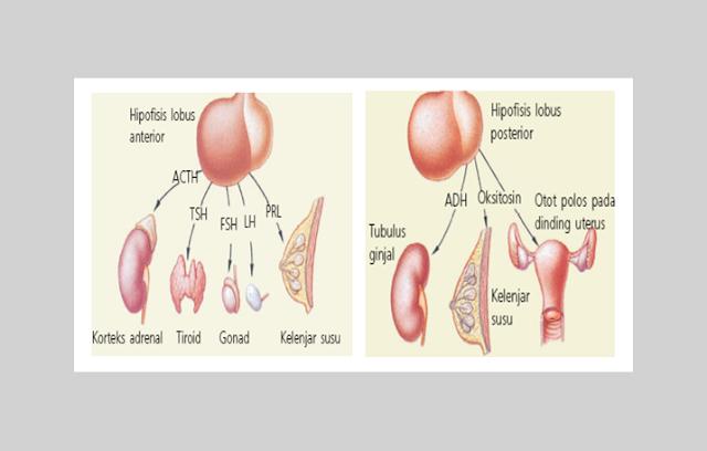 Hipofisis Anterior, Hipofisis Posterior