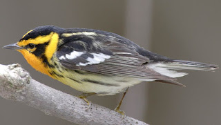 gambar burung blackburnian warbler (Dendroica fusca)