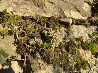 Sedum album and Sedum dasyphyllum.