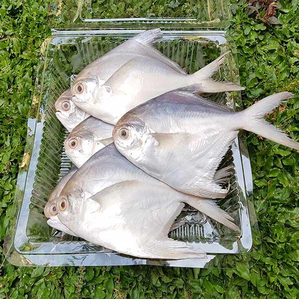 Disinilah Supplier Jual Ikan Bawal Bibit & Konsumsi Banjarmasin, Kalimantan Selatan