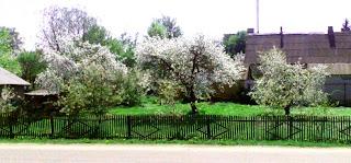 деревья в цвету