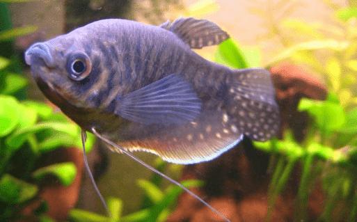 Ikan Sepat 5 Jenis Ikan Sepat Hias Beserta Harga Dan Cara Merawat Hewan Air Info