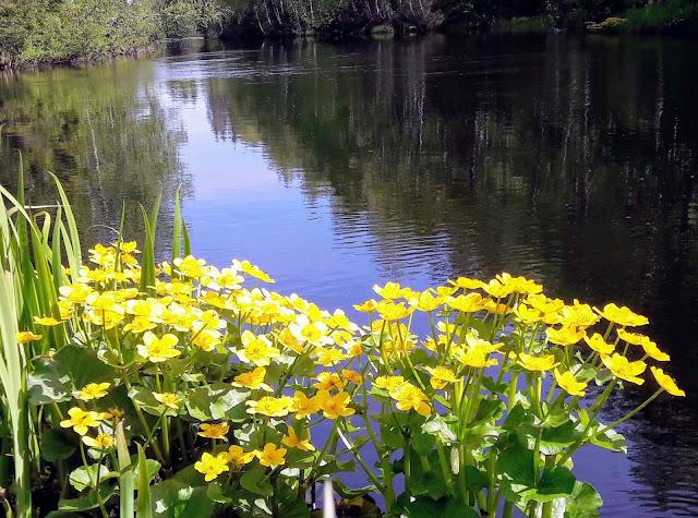 Mikä kukka on yleinen joen rannalla