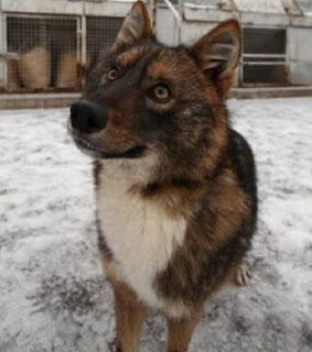 perro sulimov perro chacal