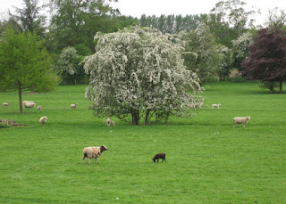 Grazing sheep and flowering trees, Oswestry, England